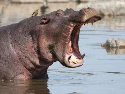 Woman, 75, killed by hippo while on safari with her family