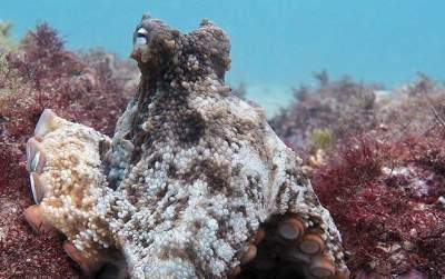 Cannibal octopuses change their ways forming 'Octlantis' community off NSW coast