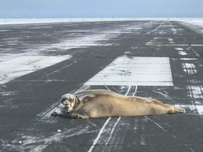 Seal blocks runway in Alaskan airport while 'sunbathing'