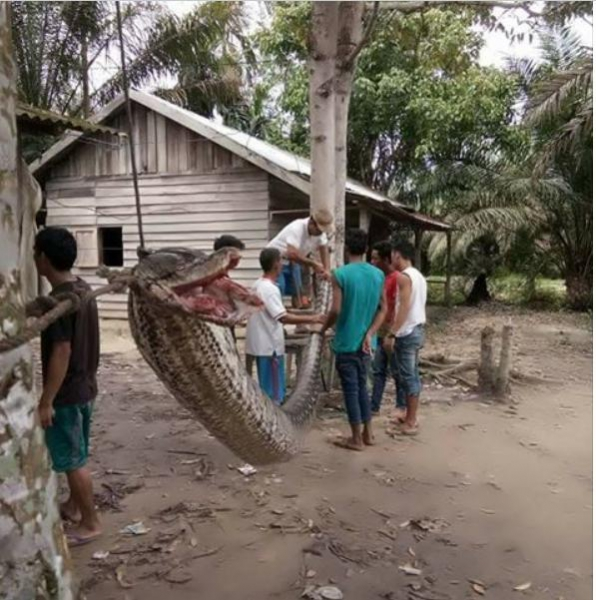 Indonesian Man Kills 7-Meter Snake During Epic Battle