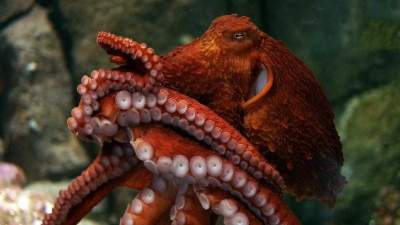 New Species of Giant Octopus Found
