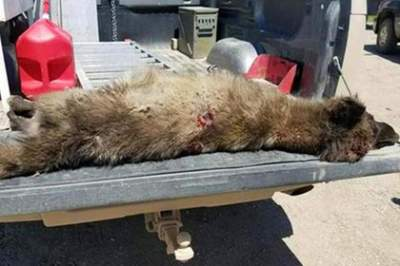 Mysterious, wolf-like animal shot in central Montana, DNA tests underway
