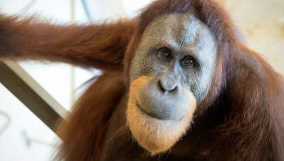 Perth zookeeper's heartfelt tribute after world's oldest orangutan dies