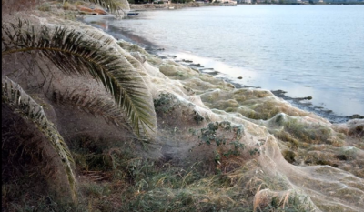 Giant spider web stretches 1,000 feet across lagoon: They're having 'a party'