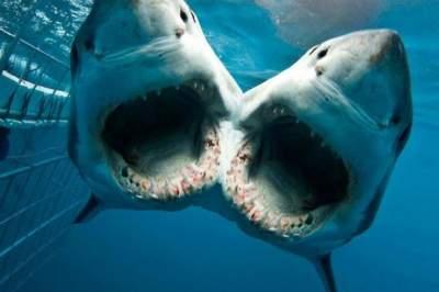 Испанские биологи обнаружили двуглавую акулу