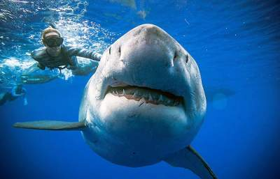 Divers swim with giant great white shark off Oahu's coast