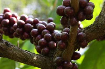 The world's most popular coffee species are going extinct